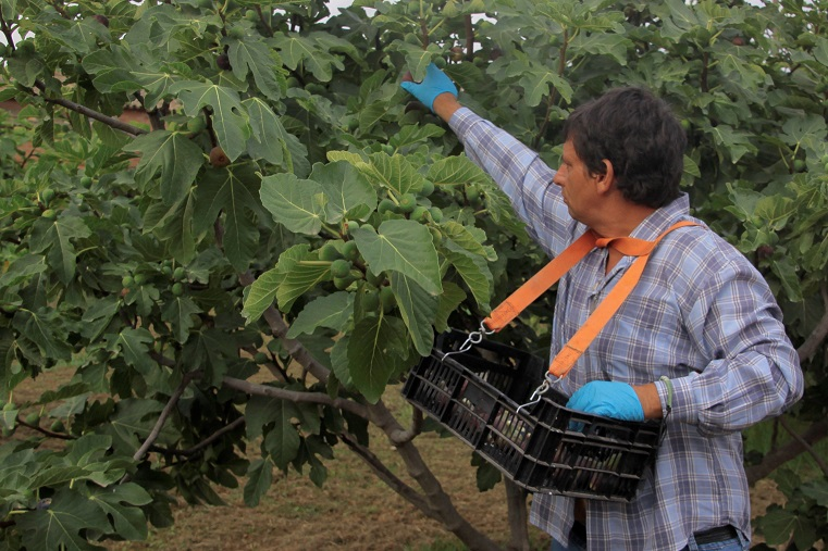 Higos de Lleida con certificación ecológica y biodinámica - Veritas