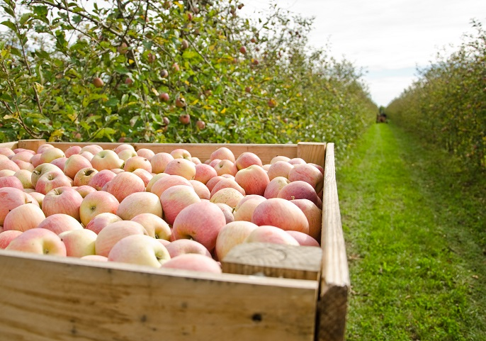 Las manzanas ecológicas aportan más minerales - Estudios - Veritas